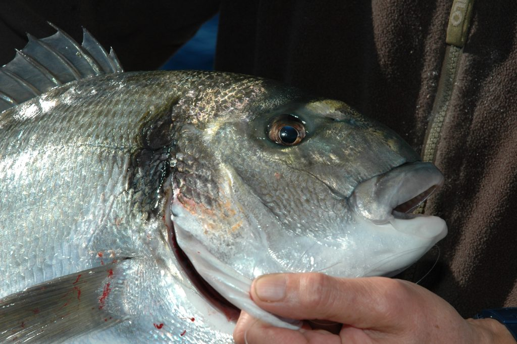 Periodo di pesca da novembre a gennaio durante il classico montone la taglia varia dai 300 grammi ai 5 chilogrammi