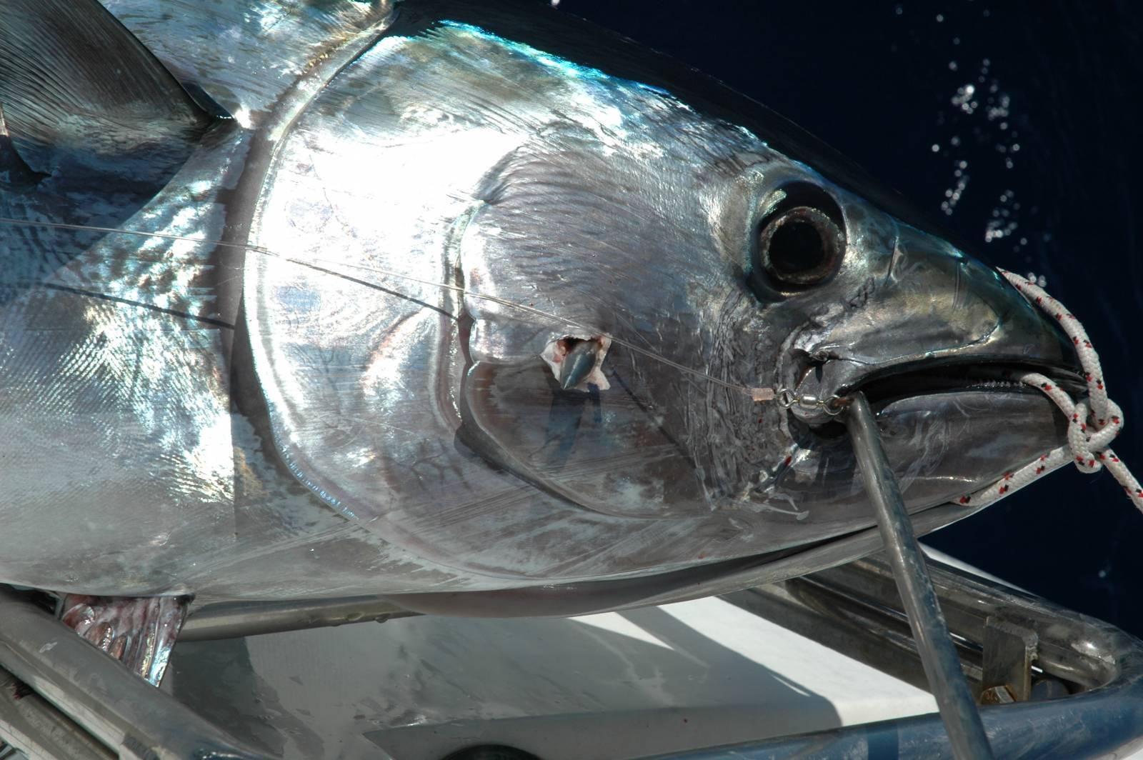Un pesce appena catturato e issato a bordo