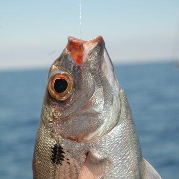 L'occhione è facilmente riconoscibile dagli altri pagelli per la classica macchia nera subito sotto le branchie