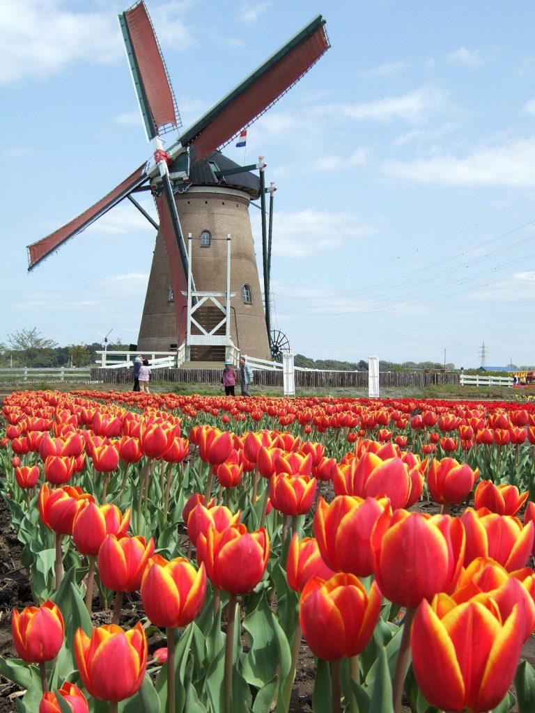 tulipani e mulini a vento immagine classica dell'Olanda