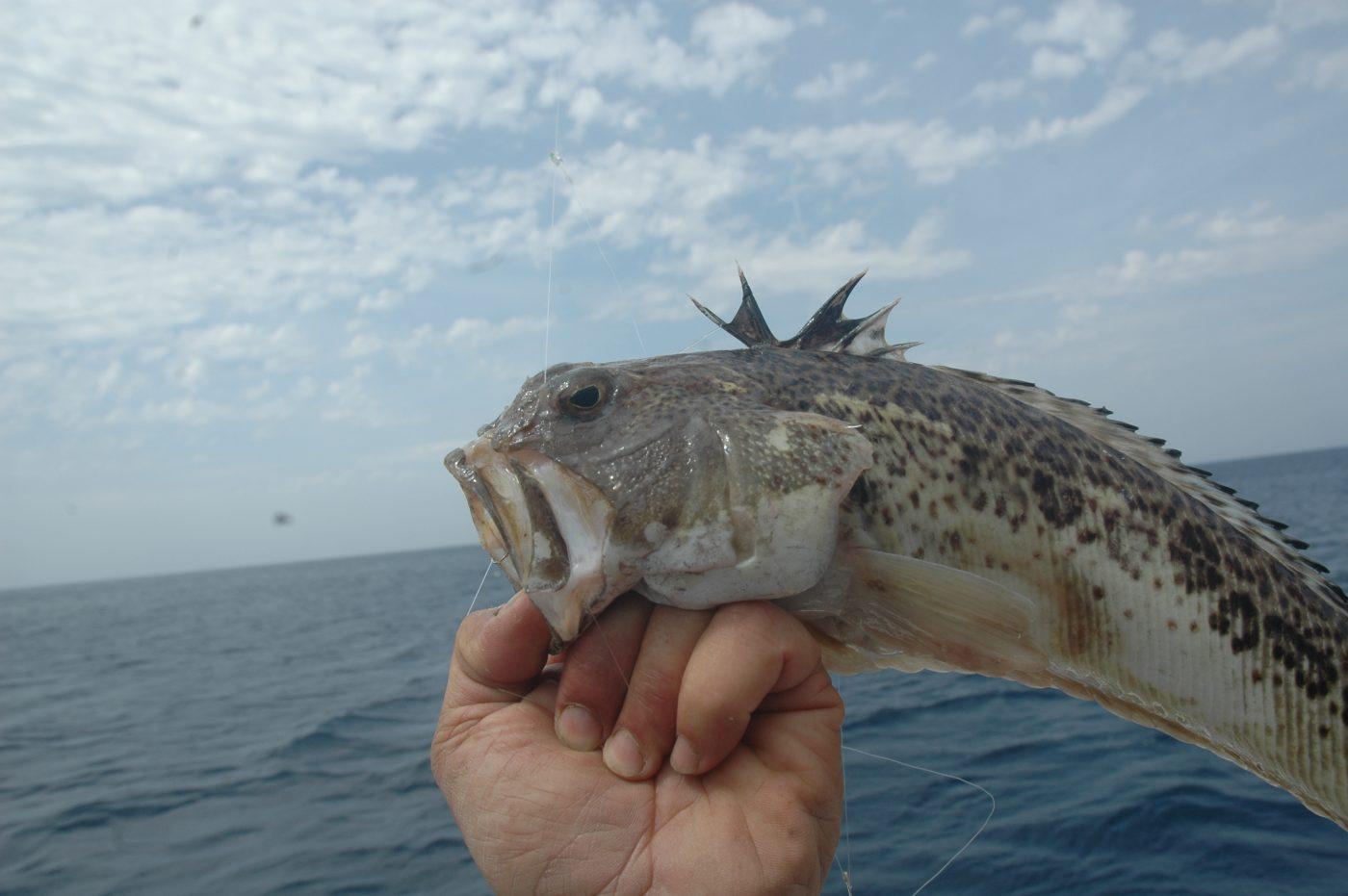 Nella foto una tracina drago appena pescata. Si nota con estrema visibilità la pinna dorsale con gli aculei velenosi
