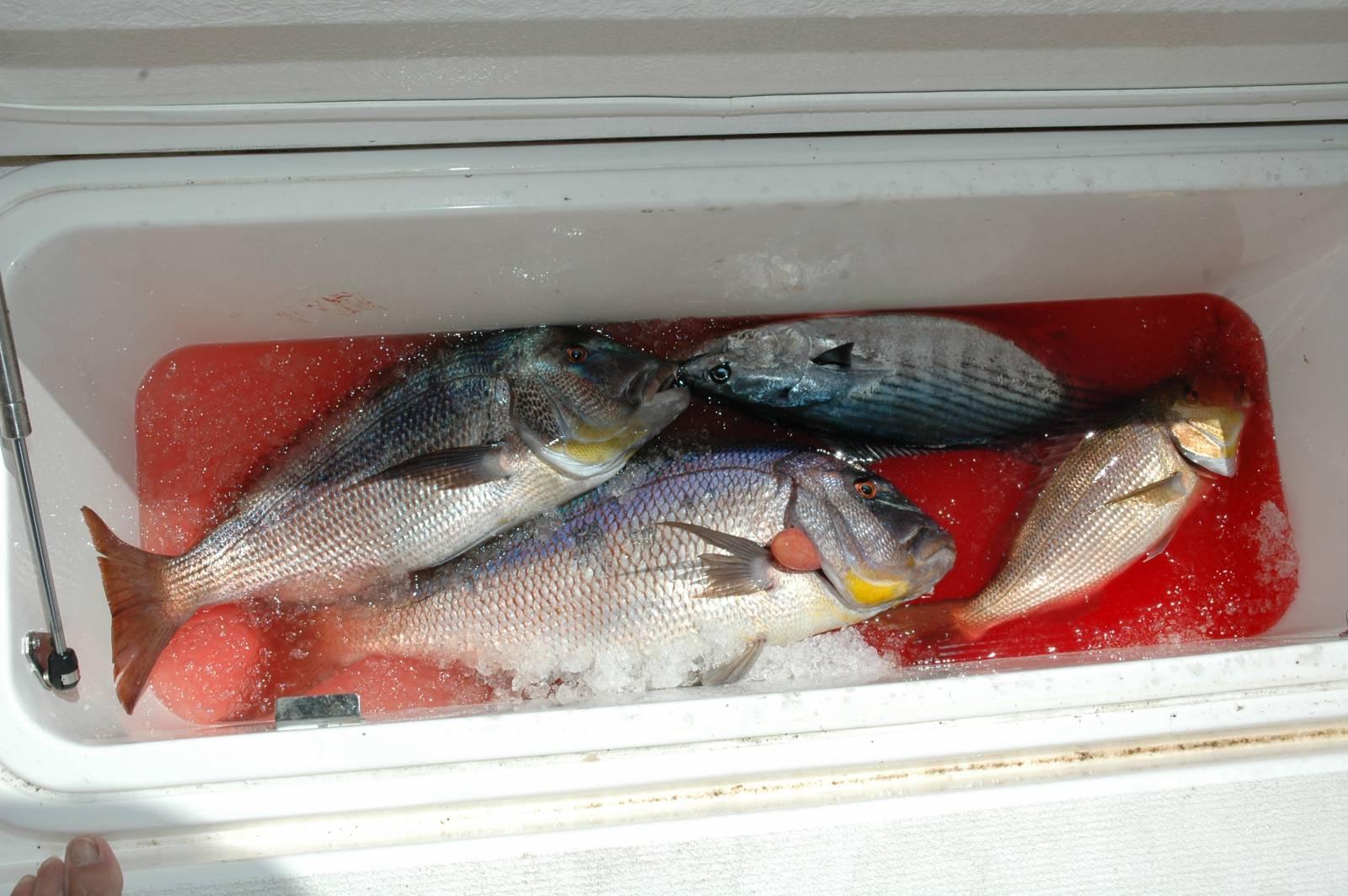 una perfetta baiatura: appena catturato  il pesce va besso in un mix di ghiaccio ed acqua di mare questo processo è una perfetta pre conservazione
